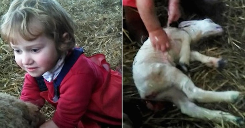 MAIN-3-year-old-delivers-a-lamb